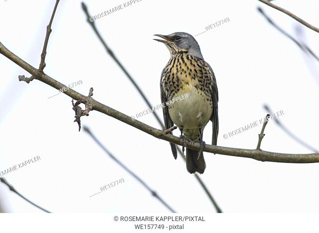 Germany, Saarland, Bexbach - A fieldfare is sitting on a branch