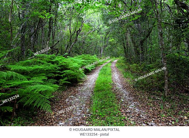 Landscape photo of a road through a lush green indigenous forest. Tsitsikamma National Park, Western Cape, South Africa