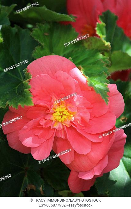Macro shot of a pink Begonia in full bloom surrounded by green leaves