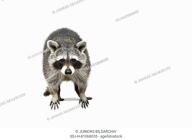Raccoon (Procyon lotor). Adult standing, seen head-on. Studio picture against a white background. Germany