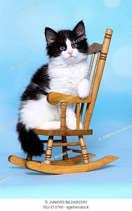 Norwegian Forest Cat. Kitten sitting on a small rocking chair. Studio picture against a blue background. Germany