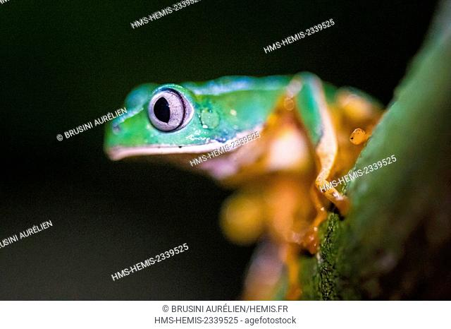 France, Guyana, French Guyana Amazonian Park, heart area, Camopi, frog Phyllomedusa near a river, Mount Itoupe (830 m), the second summit of French Guyana