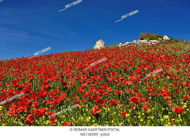 Hill with wild Red Poppies and Yellow Rocket weeds with rock outcrop above Puerto Lope Spain