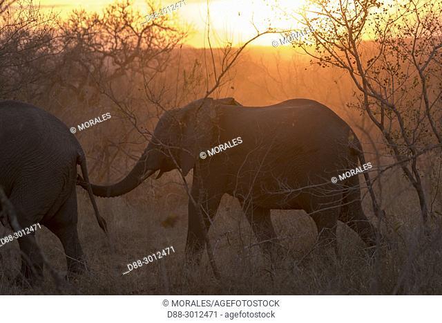 Africa, Southern Africa, South African Republic, Mala Mala game reserve, . African bush elephant or African savanna elephant (Loxodonta africana)