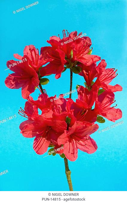 Close-up abstract of a red azalea spray Rhododendron variety set against a blue background in a Norfolk garden