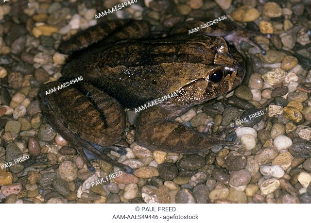 Hairy Frog Male (Trichobatrachus robustus) Male, Cameroon, W Africa