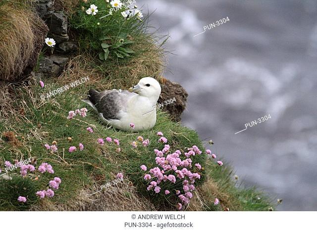 Fulmar Fulmarus glacialis on nest at Noss Head
