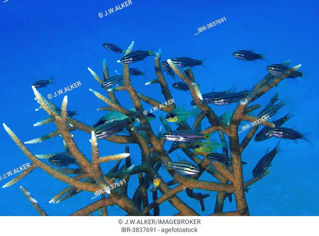 Five-lined cardinalfish (Cheilodipterus quinquelineatus) in an antler coral (Acropora), Philippines