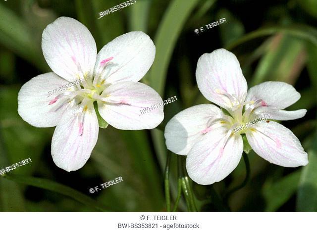 Eastern spring beauty, Virginia spring beauty (Claytonia virginica), flowers