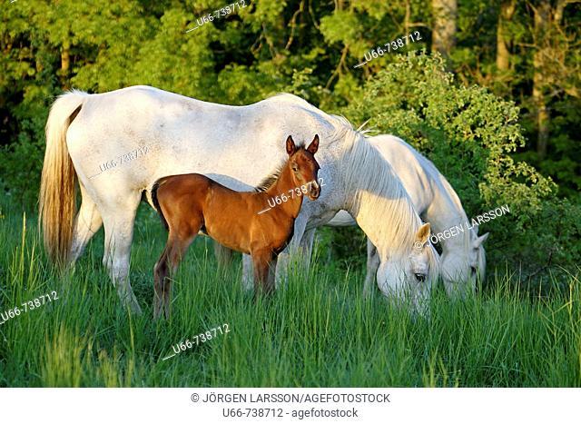 Horses with foal. Skane, Sweden