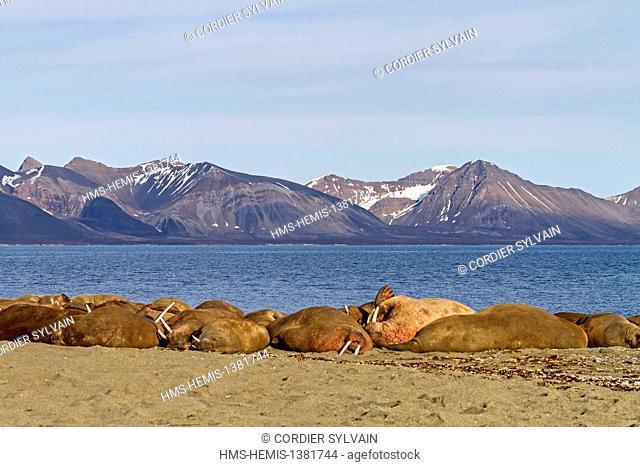 Norway, Svalbard, Walrus (Odobenus rosmarus) resting in beach colony