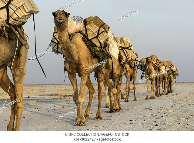 Dromedary caravan carrying salt (halite) slabs over Lake Assale, Danakil depression, Afar region, Ethiopia