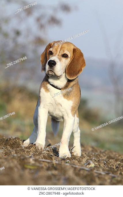 A Beagle dog standing in a field