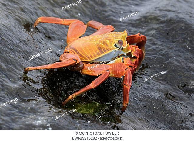 Sally lightfoot crab, mottled shore crab (Grapsus grapsus), on wet rock, Ecuador, Galapagos Inseln, Espanola