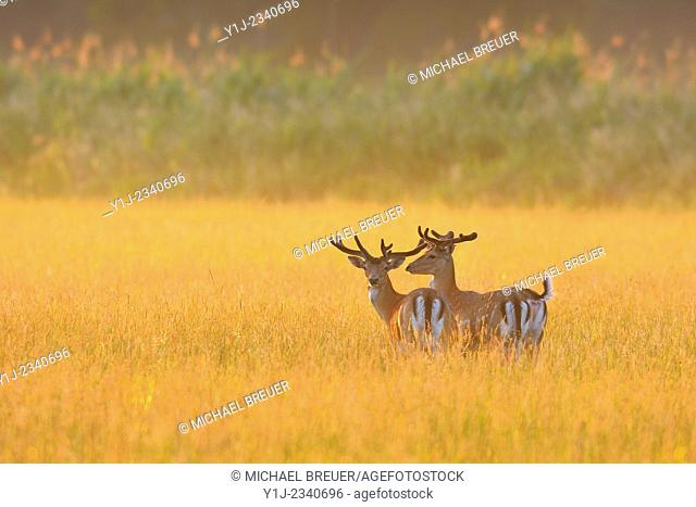 Fallow Deers (Cervus dama) at sunrise, Hesse, Germany, Europe