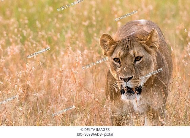 Lioness (Panthera leo)walking in the savannah, Masai Mara, Kenya, Africa