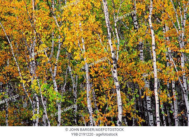 Autumn-colored grove of paper birch (Betula papyrifera), Split Rock Lighthouse State Park, Minnesota, USA