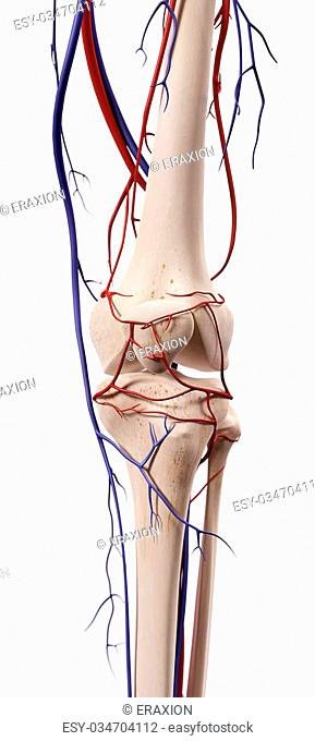 medical accurate illustration of the knee blood vessels