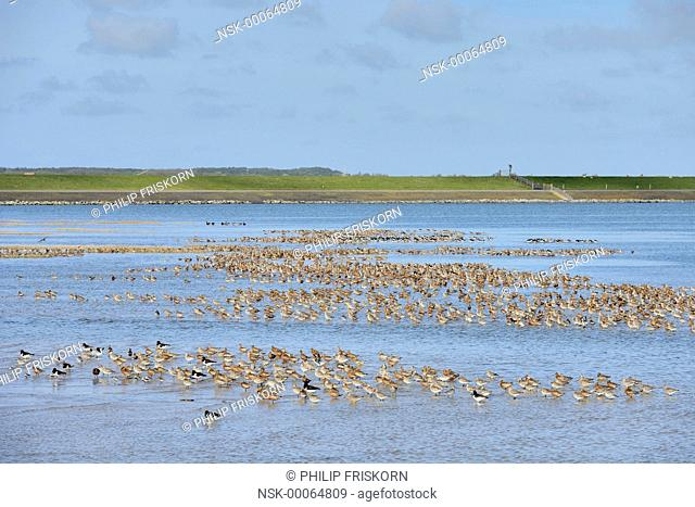 Group of Bar-tailed Godwit (Limosa lapponica) resting in a shallow bay near 't Schaal on the south side of Terschelling together with some Oystercatcher...