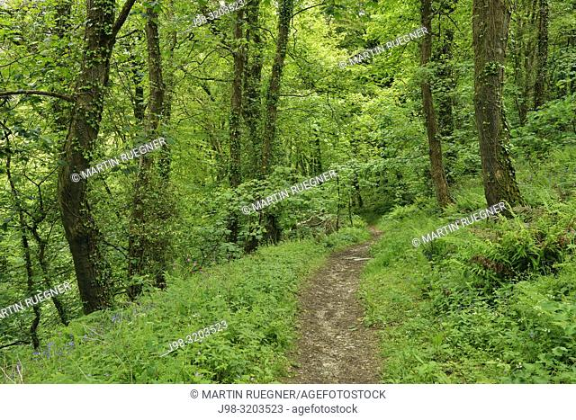 Path with ferns in forest in St. Nectans Glen, near Tintagel. Tintagel, Cornwall, England, United Kingdom, Europe