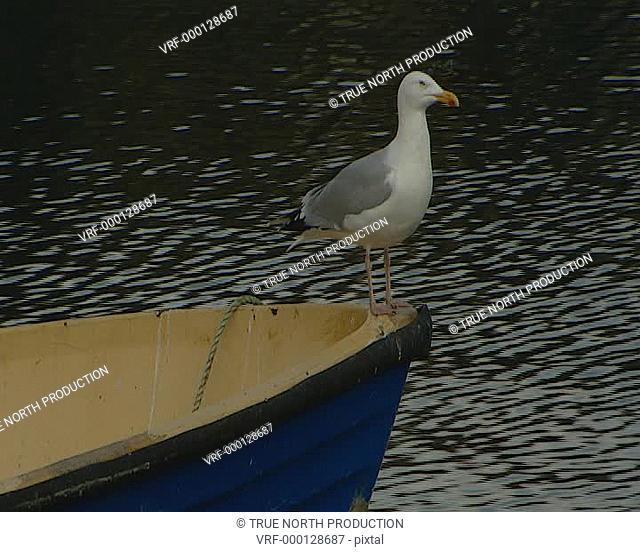 Seagull on boat, calm sea, regal, picture postcard, tranquil. Mull, Scotland, UK