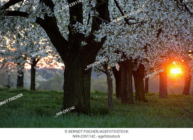 Cherry orchard in spring, sunset, Franconia, Bavaria, Germany