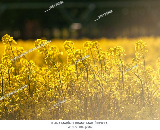 A rapeseed field in bloom (Brassica napus) in spring in Salamanca for the production of rapeseed oil and biodiesel