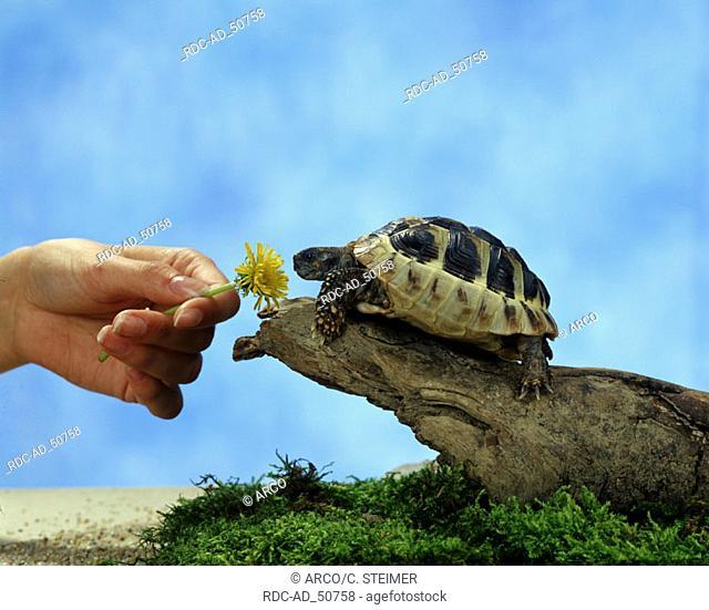 Greek Tortoise beeing feeded Testudo hermanni