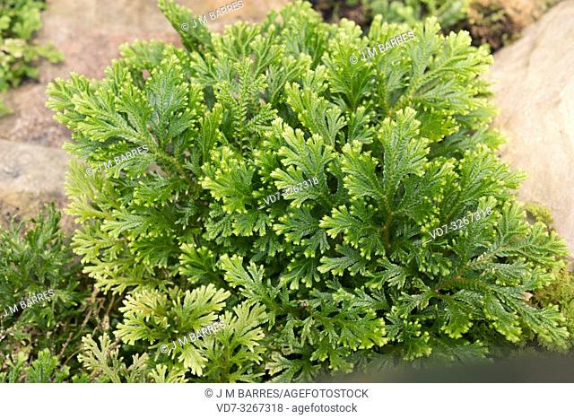 Krauss spikemoss (Selaginella kraussiana) is a vascular plant native to Macaronesia and southeastern Africa