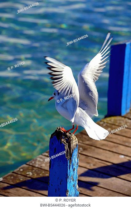 black-headed gull (Larus ridibundus, Chroicocephalus ridibundus), gull landing on a wooden stake on a pontoon at the Lake Annecy , France, Haute-Savoie, Annecy
