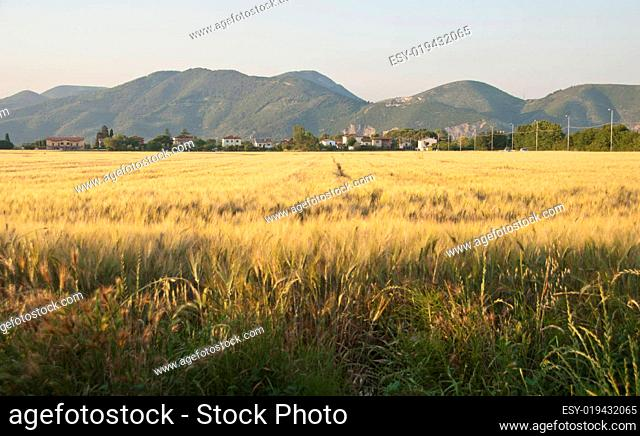 Cornfield in Tuscany Countryside