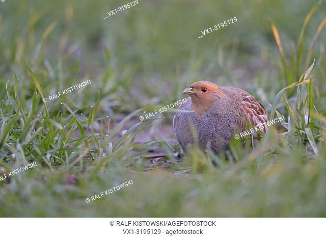 Attentive Grey Partridge (Perdix perdix) hiding in a field of young grain, first morning light, nice dew drops on the grass.