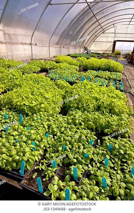 Young basil plants in greenhouse on organic farm, Humboldt County, California