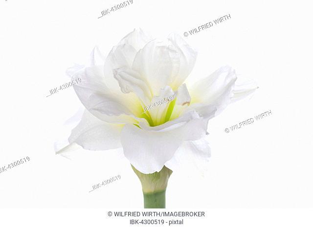 Amaryllis (Hippeastrum sp.), white flowers