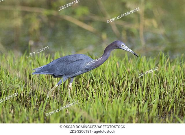 Little Blue Heron (Egretta caerulea) foraging for food. Caño Negro Wildlife Refuge. Alajuela province. Costa Rica