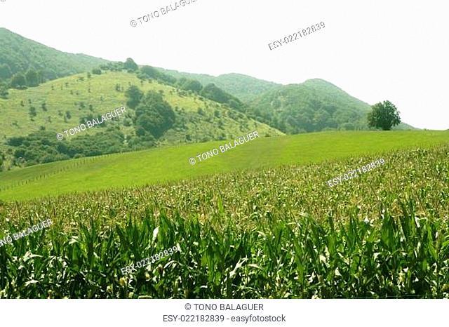 Corn green fields landscape outdoors