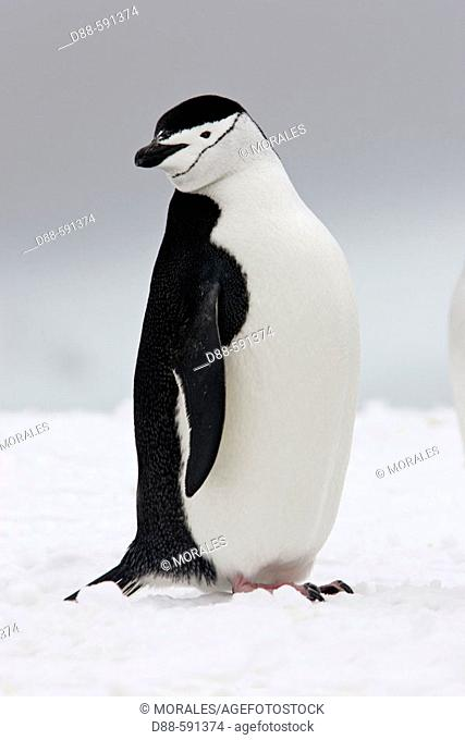 Chinstrap penguin (Pygoscelis antarctica). Half Moon Island, Antartic Peninsula