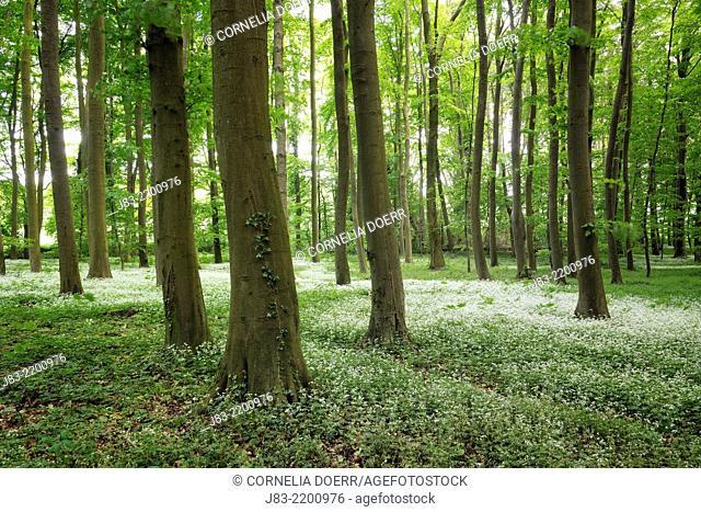 Beech forest, Nienhagen, Mecklenburg-Vorpommern, Germany