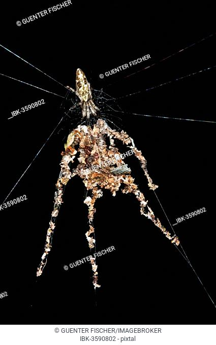 Orb-web Spider species (probably Cyclosa spec.), building spider dummies with several legs from plant debris and dead insects to deflect from enemy attacks