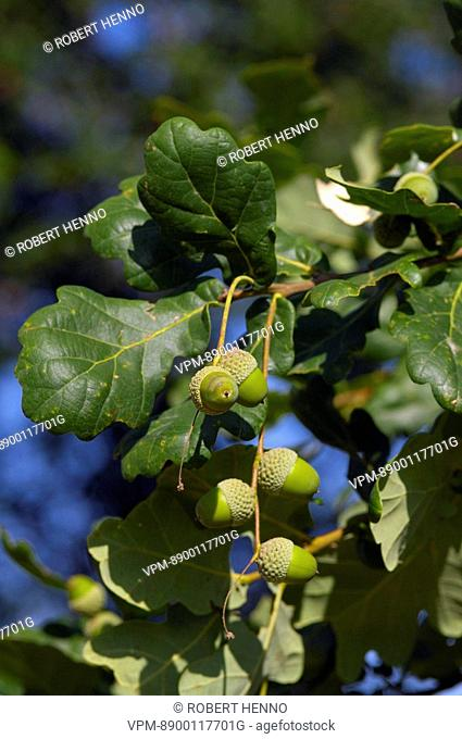 QUERCUS ROBUR - QUERCUS PEDUNCULATACOMMON OAK - ENGLISH OAK - PEDUNCULATE OAKACORNAVEYRON - FRANCE