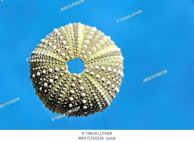 Sea urchin shell, close-up