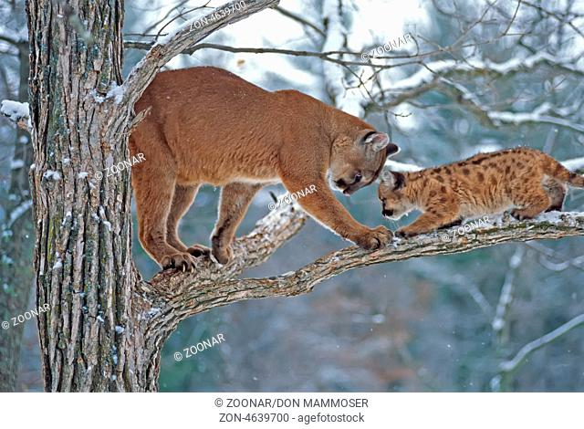 de7f02e905e Baby florida panther Stock Photos and Images | age fotostock