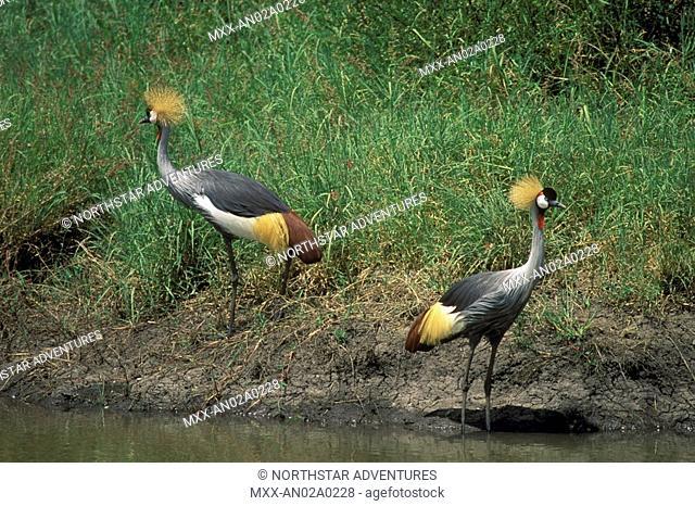 Crested Cranes, Serengeti Plains, Tanzania
