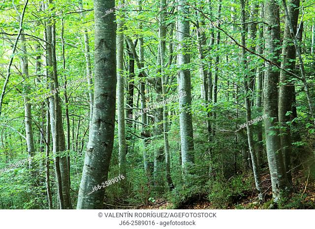 Beech in the forest of Oza. Hecho valley. Huesca
