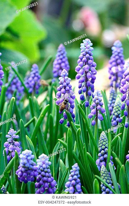 Grape hyacinth with bee