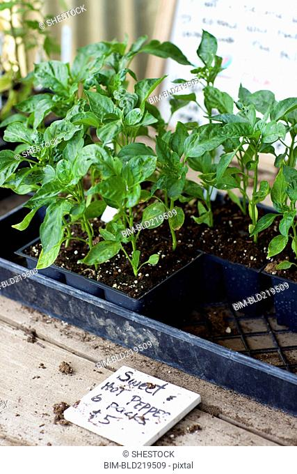 Potted plants for sale in nursery