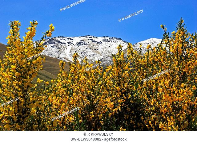 flourishing broom in front of snowy mountains, New Zealand, Central Otago