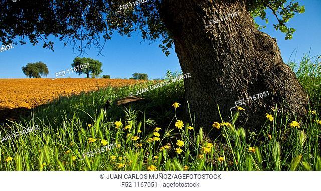 Holm oaks (Quercus ilex) in a field, La Serena, Badajoz, Extremadura, Spain