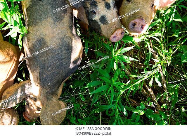 Overhead view of heritage pigs on free range organic farm
