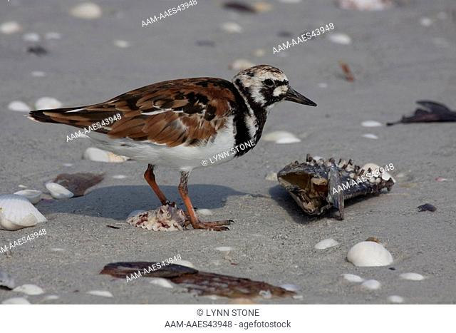 Ruddy Turnstone (Arenaria interpres) forages in beach wrack on Sanibel Island, Florida, USA